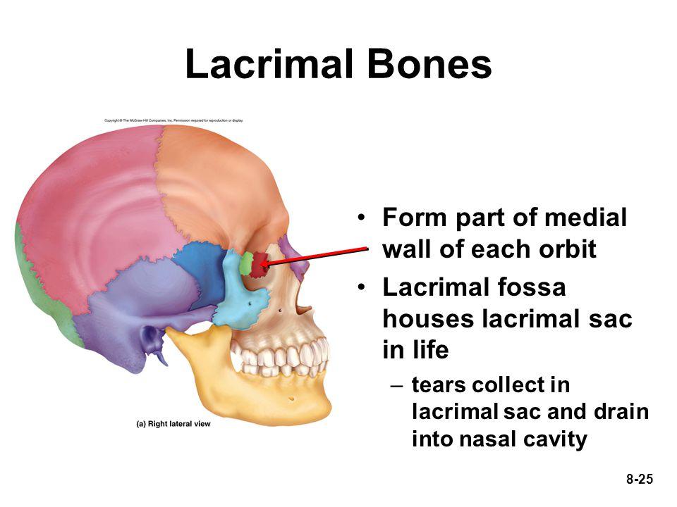 Lacrimal Bones Form part of medial wall of each orbit