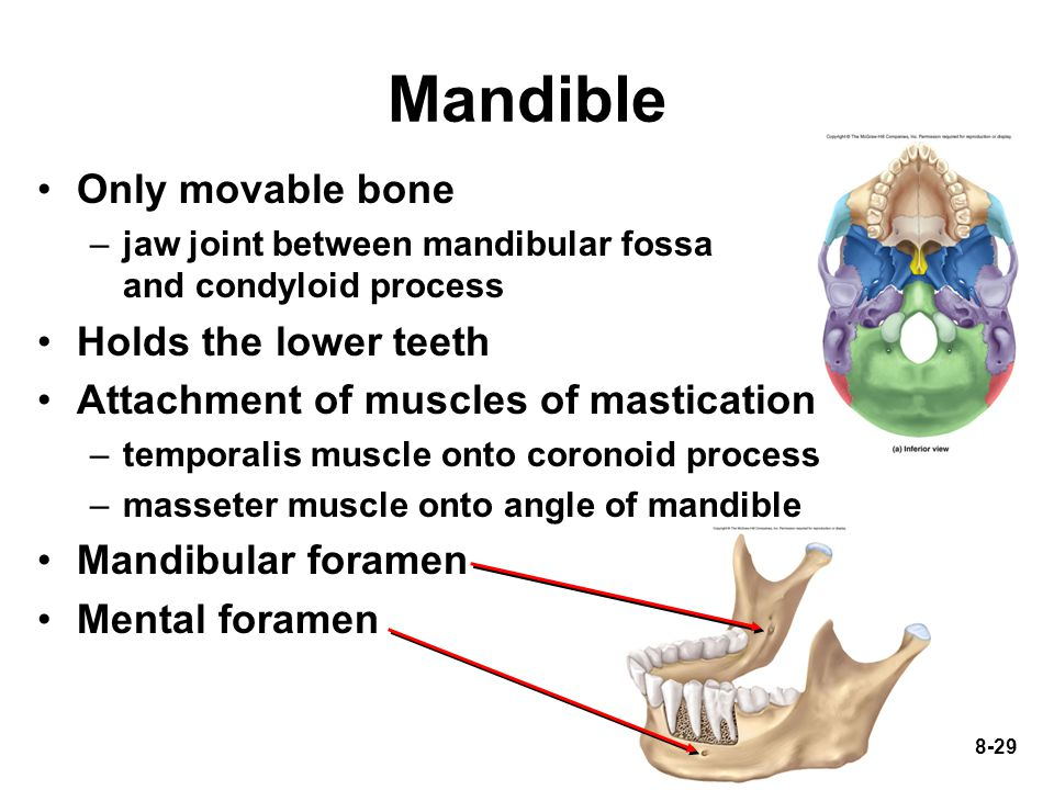 Mandible Only movable bone Holds the lower teeth