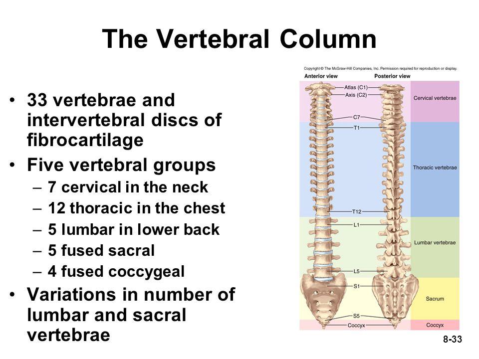 The Vertebral Column 33 vertebrae and intervertebral discs of fibrocartilage. Five vertebral groups.