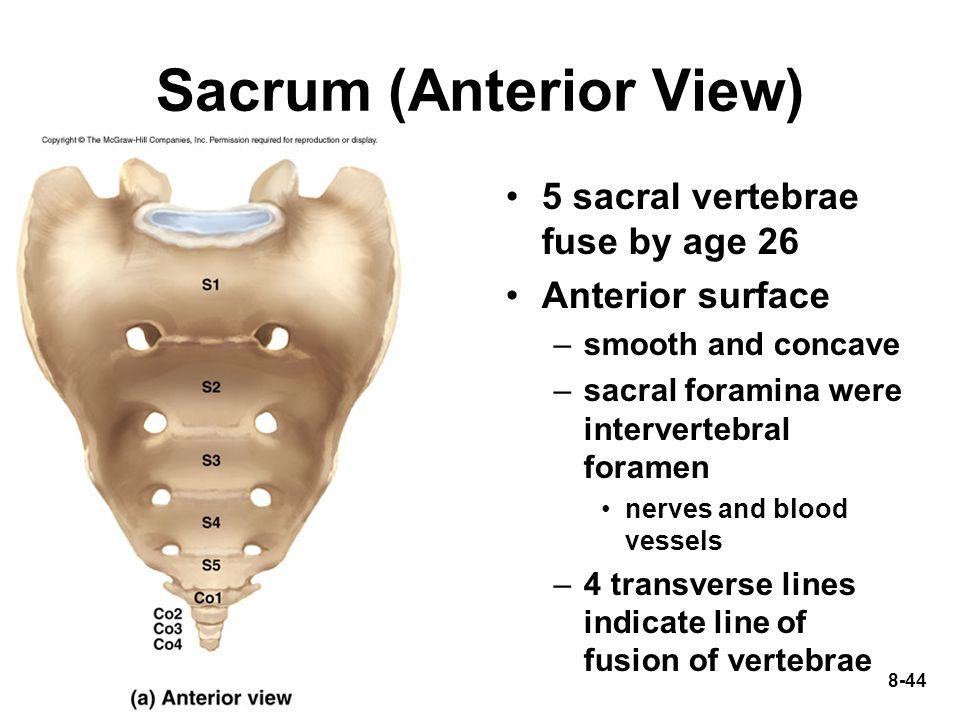 Sacrum (Anterior View)