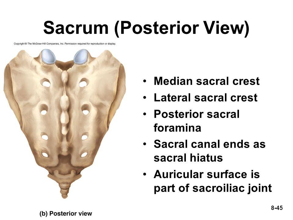 Sacrum (Posterior View)