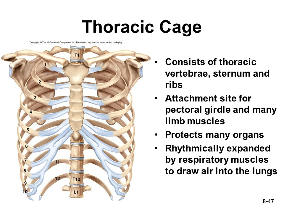 Thoracic Cage Consists of thoracic vertebrae, sternum and ribs