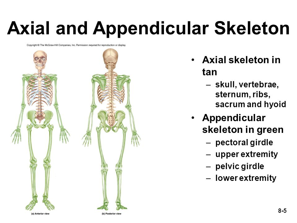 chapter 8 lecture outline - ppt video online download, Skeleton