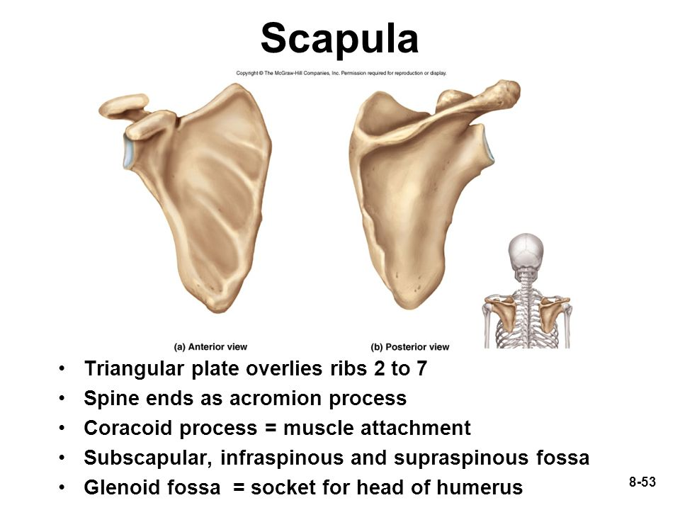 Scapula Triangular plate overlies ribs 2 to 7
