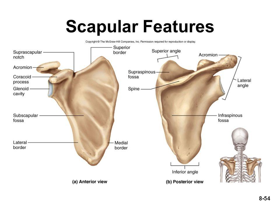 Scapular Features
