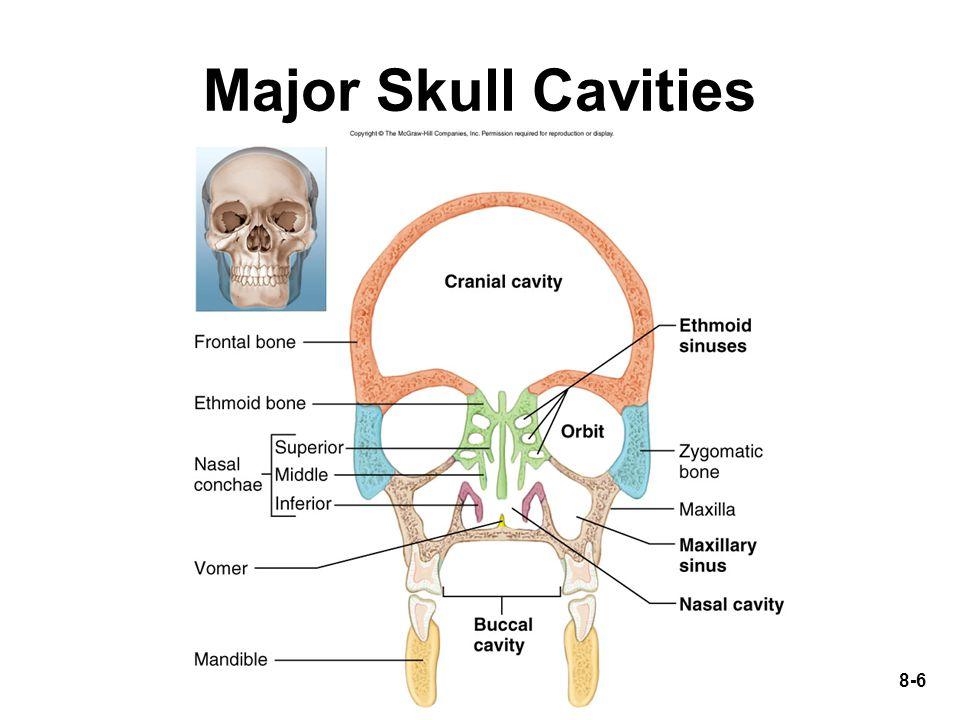 Major Skull Cavities