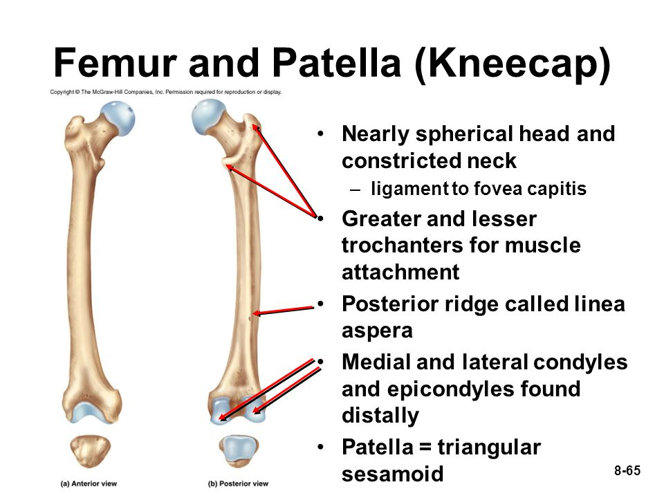 Femur and Patella (Kneecap)