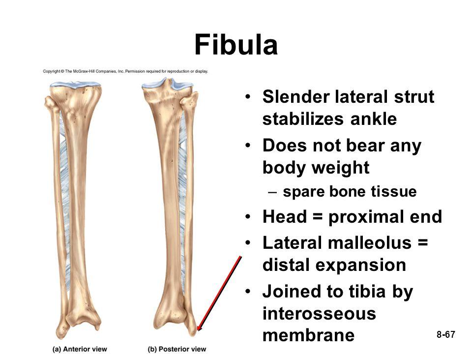 Fibula Slender lateral strut stabilizes ankle