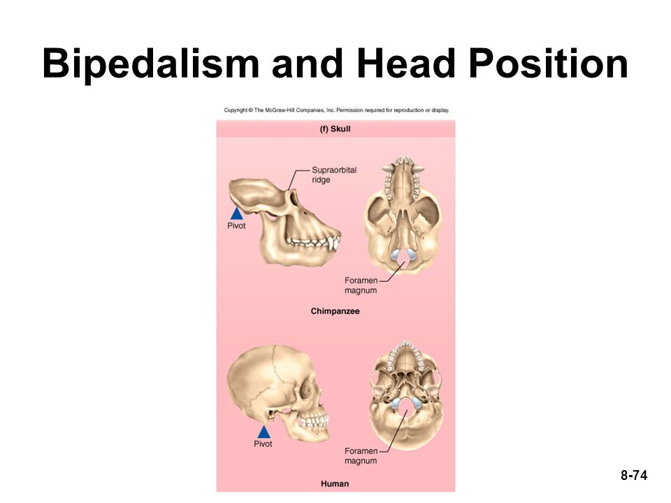 Bipedalism and Head Position