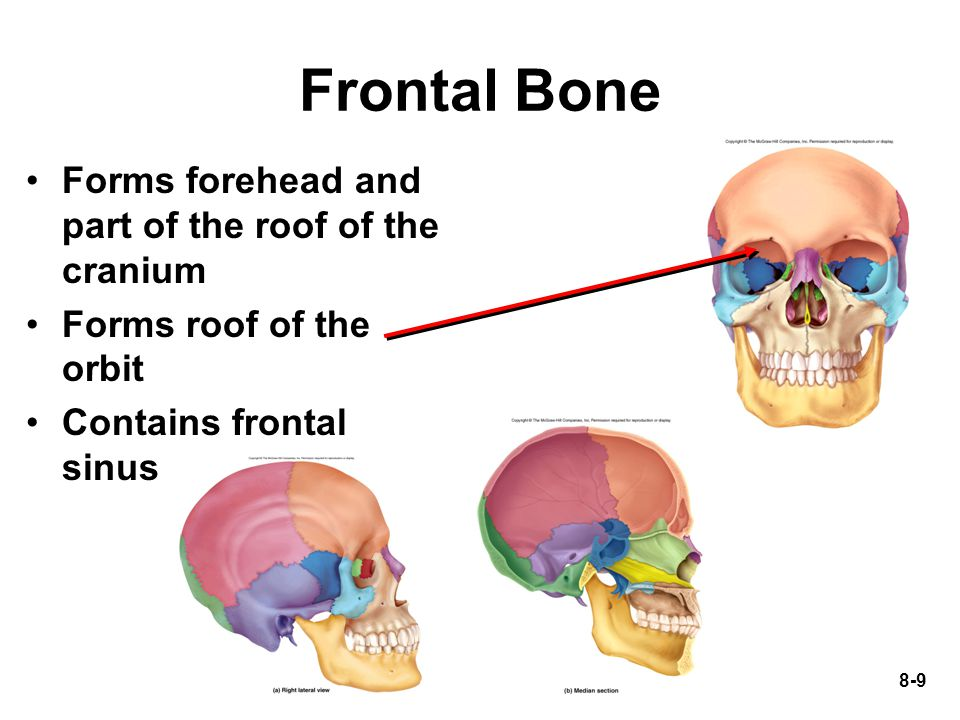 Frontal Bone Forms forehead and part of the roof of the cranium