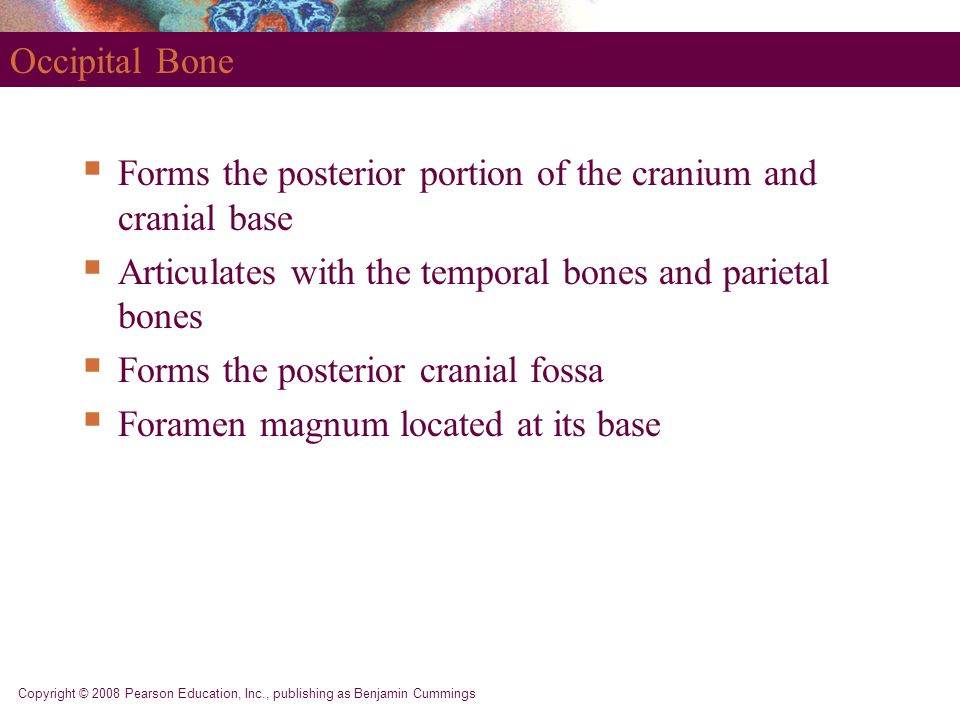 Forms the posterior portion of the cranium and cranial base