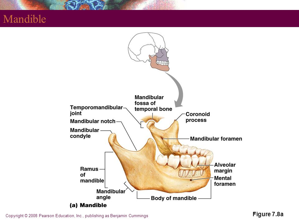 Mandible Figure 7.8a Copyright © 2008 Pearson Education, Inc., publishing as Benjamin Cummings