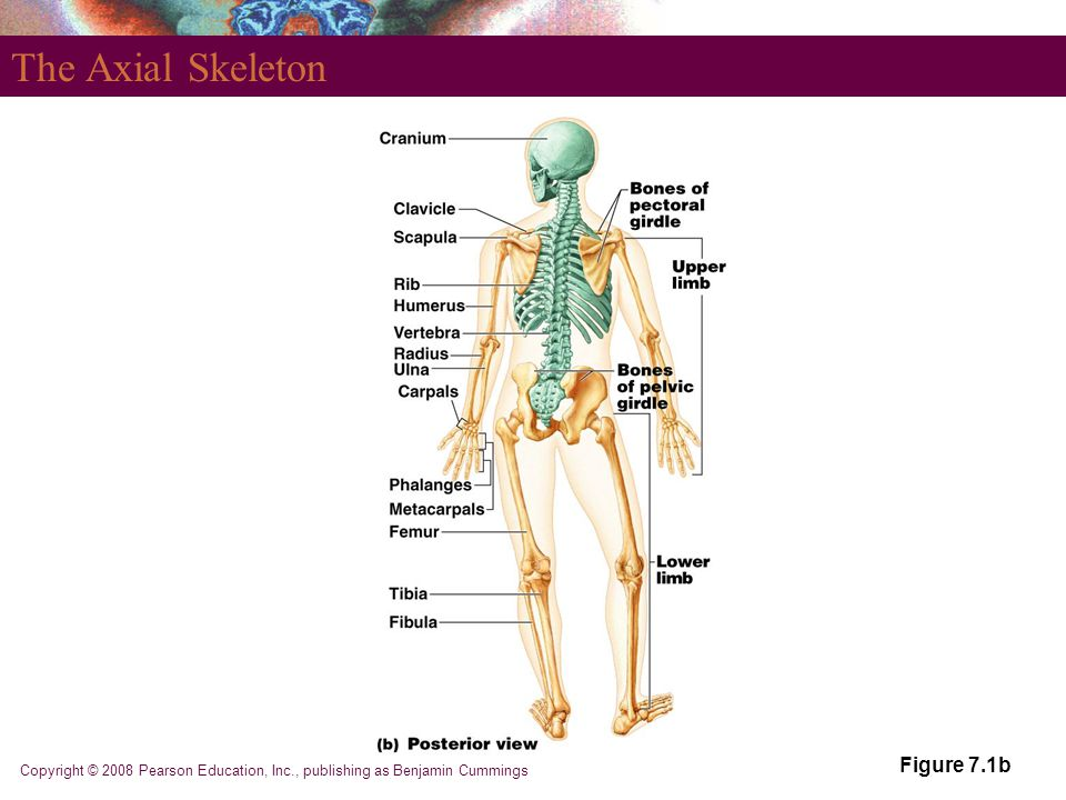 The Axial Skeleton Figure 7.1b