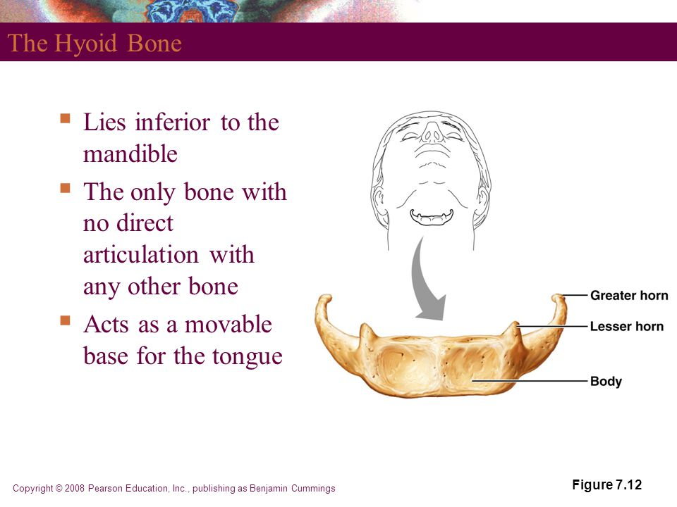 Lies inferior to the mandible