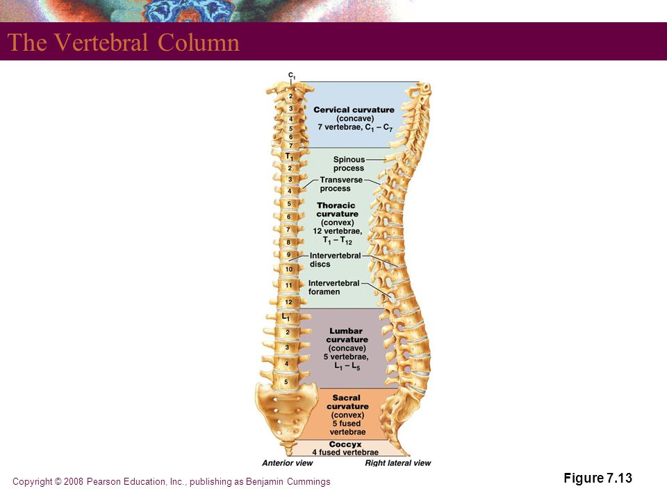 The Vertebral Column Figure 7.13