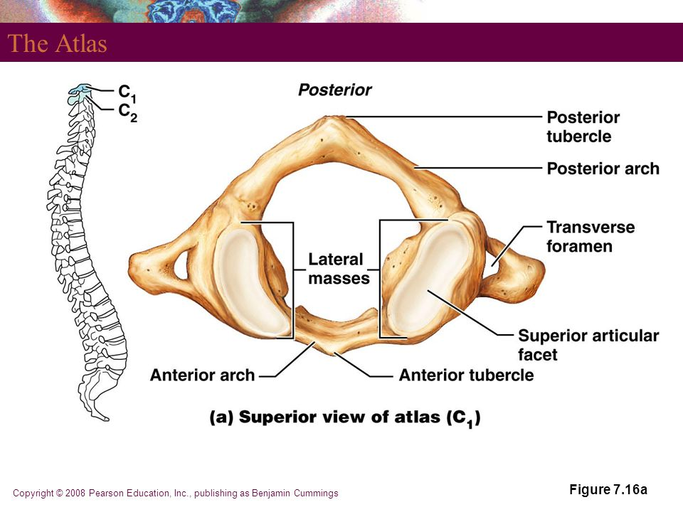 The Atlas Figure 7.16a Copyright © 2008 Pearson Education, Inc., publishing as Benjamin Cummings