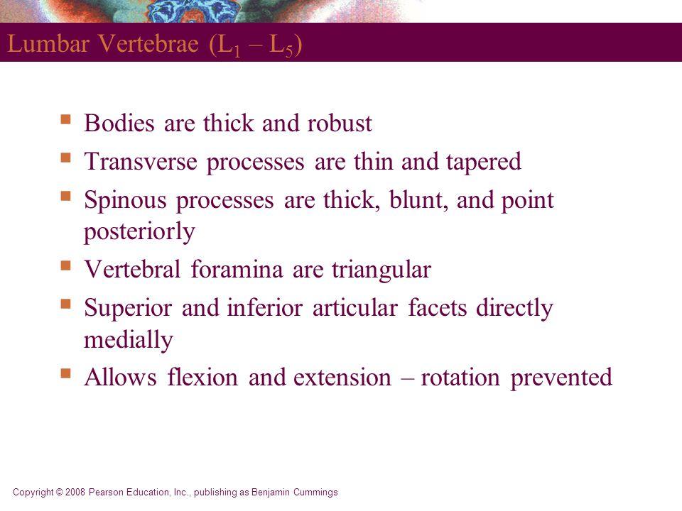 Lumbar Vertebrae (L1 – L5)