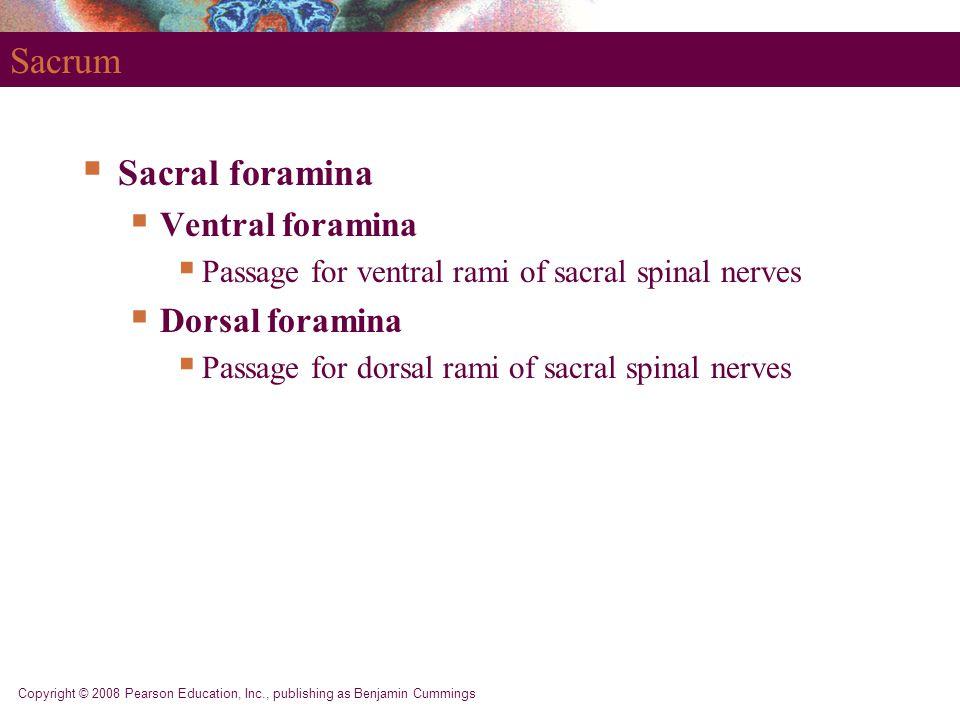 Sacrum Sacral foramina Ventral foramina Dorsal foramina