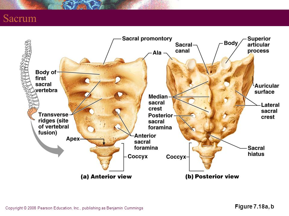 Sacrum Figure 7.18a, b Copyright © 2008 Pearson Education, Inc., publishing as Benjamin Cummings