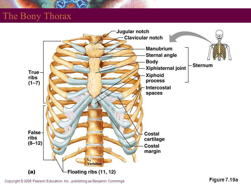 The Bony Thorax Figure 7.19a