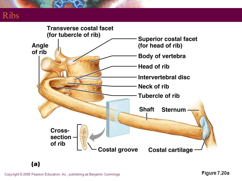 Ribs Figure 7.20a Copyright © 2008 Pearson Education, Inc., publishing as Benjamin Cummings