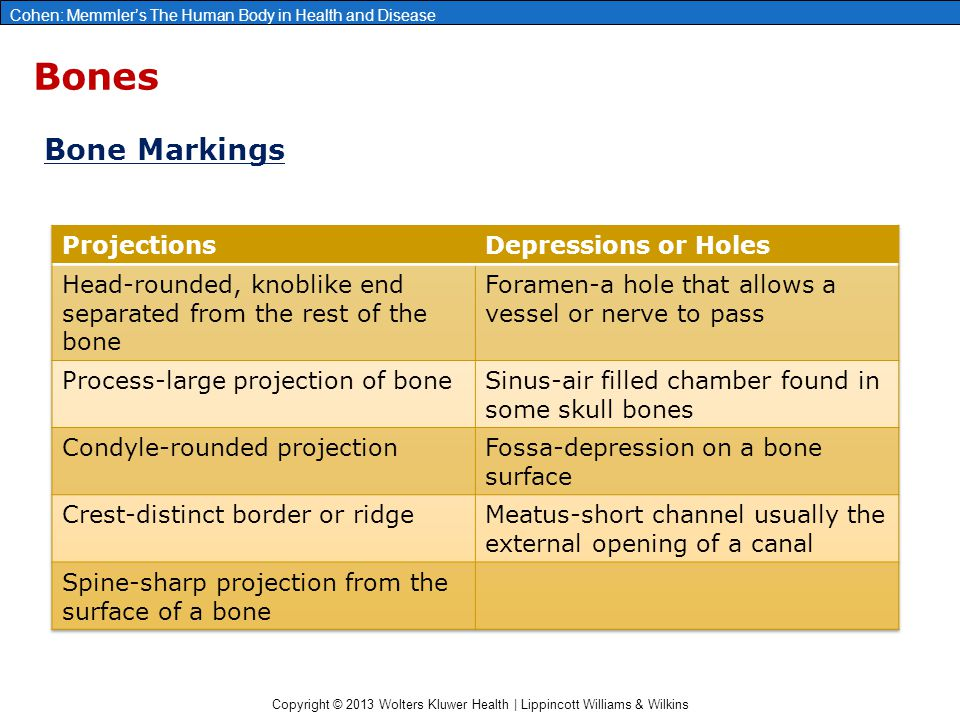 Bones Bone Markings Projections Depressions or Holes