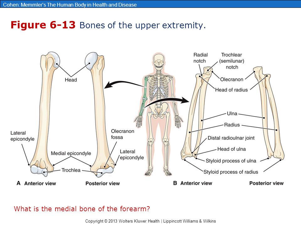 Figure 6-13 Bones of the upper extremity.