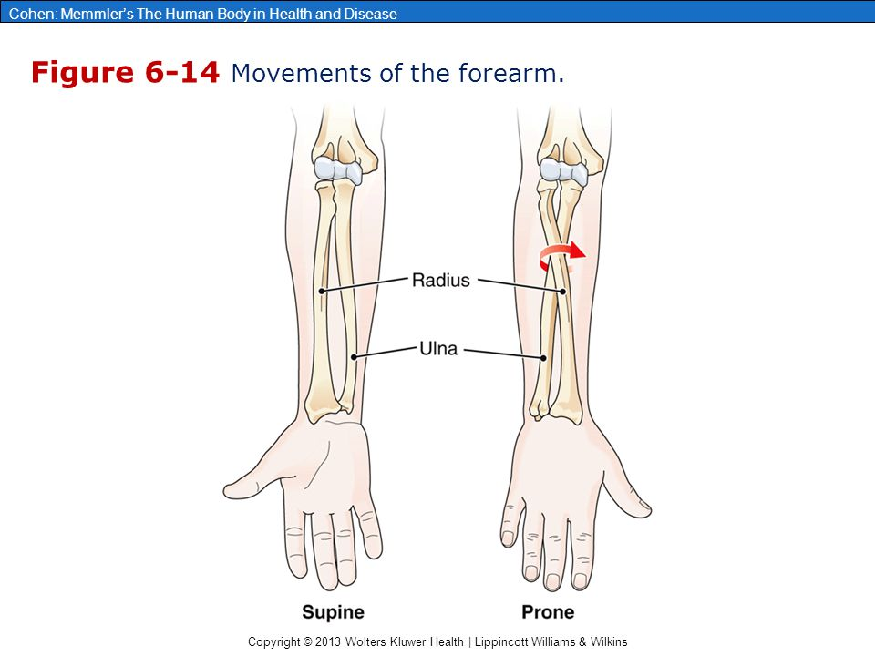 Figure 6-14 Movements of the forearm.