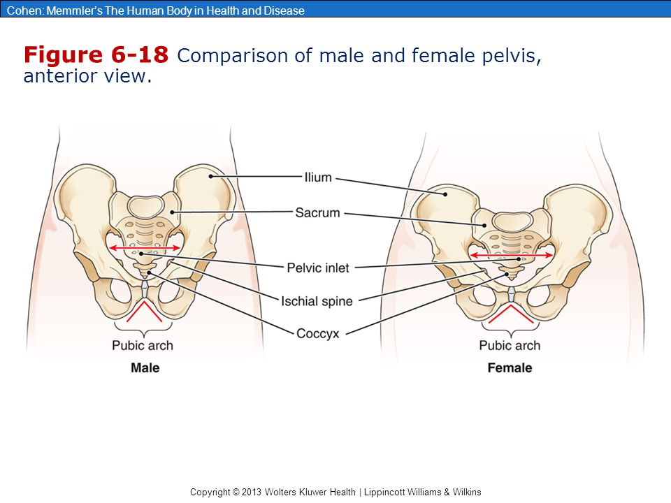 Figure 6-18 Comparison of male and female pelvis, anterior view.
