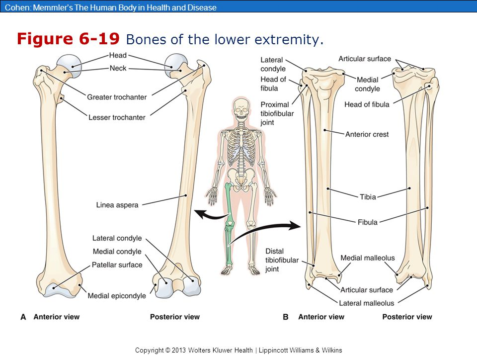 Figure 6-19 Bones of the lower extremity.