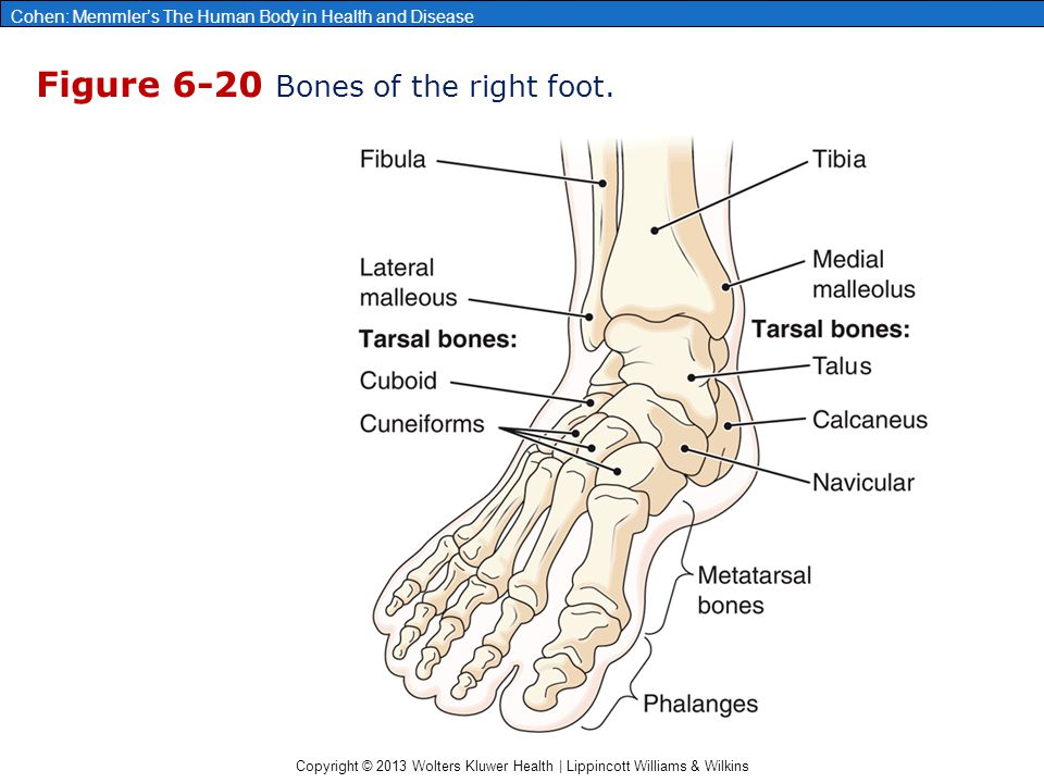 Figure 6-20 Bones of the right foot.