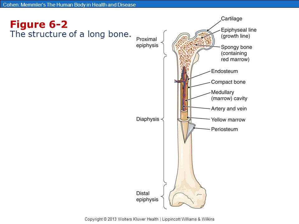 Figure 6-2 The structure of a long bone.