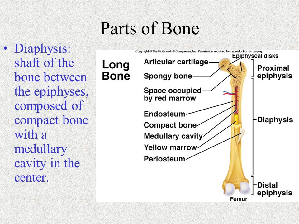 Parts of Bone Diaphysis: shaft of the bone between the epiphyses, composed of compact bone with a medullary cavity in the center.
