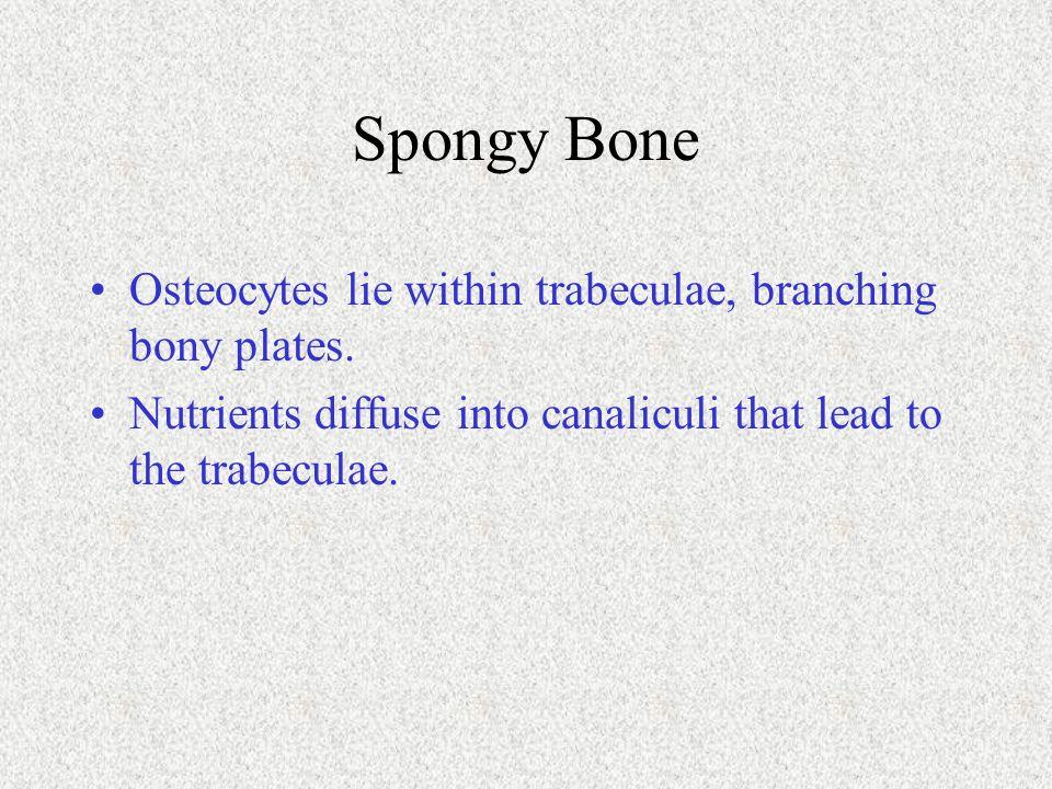 Spongy Bone Osteocytes lie within trabeculae, branching bony plates.