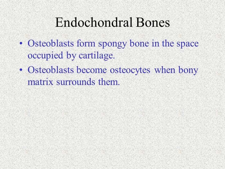Endochondral Bones Osteoblasts form spongy bone in the space occupied by cartilage.