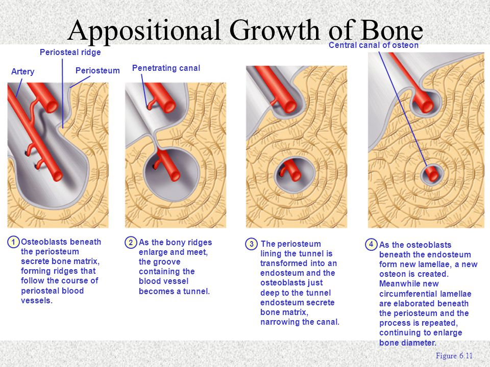 Appositional Growth of Bone