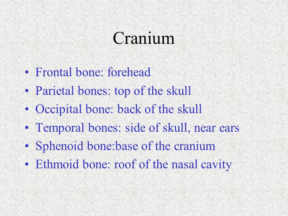 Cranium Frontal bone: forehead Parietal bones: top of the skull