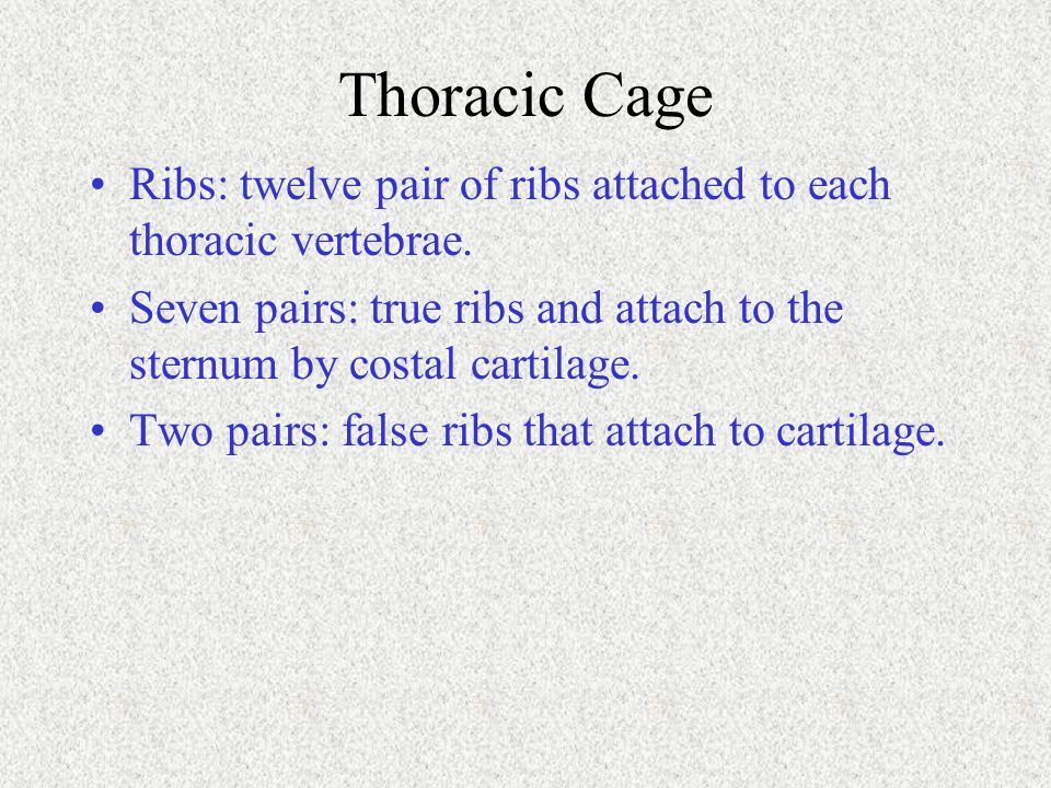 Thoracic Cage Ribs: twelve pair of ribs attached to each thoracic vertebrae. Seven pairs: true ribs and attach to the sternum by costal cartilage.