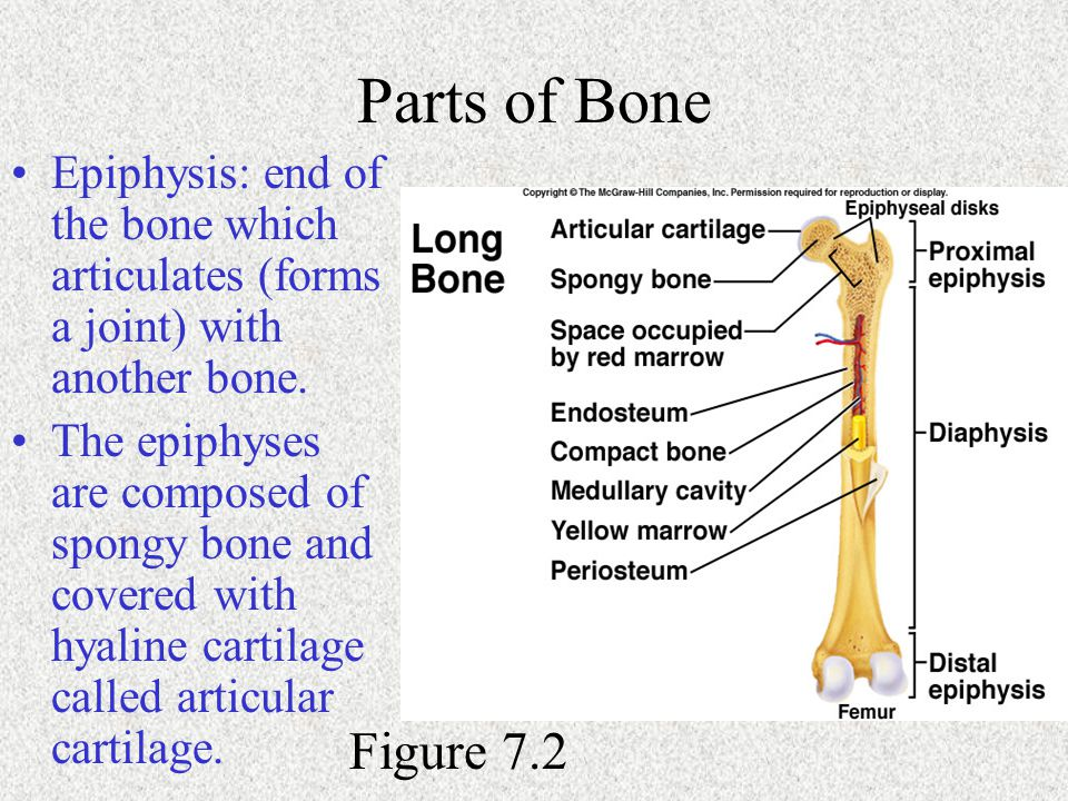Parts of Bone Epiphysis: end of the bone which articulates (forms a joint) with another bone.