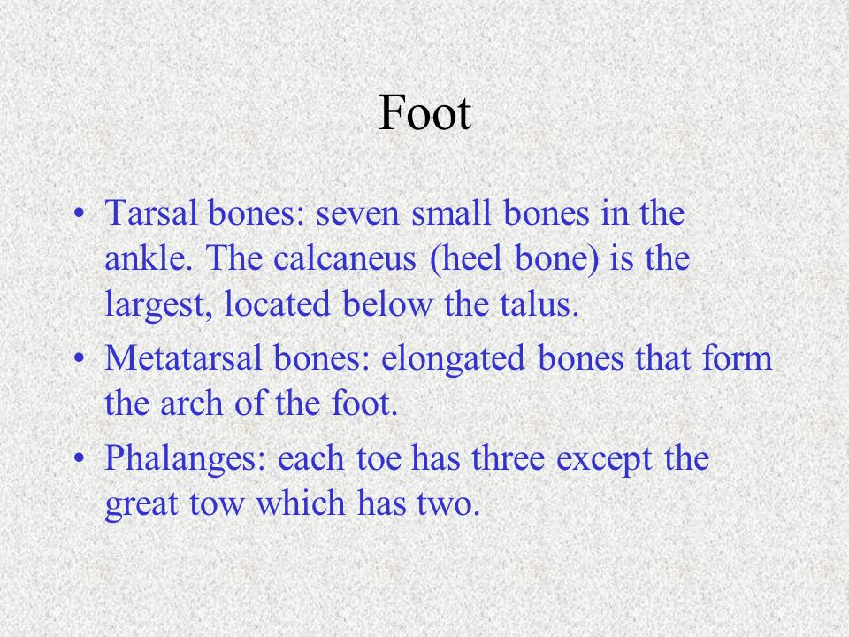 Foot Tarsal bones: seven small bones in the ankle. The calcaneus (heel bone) is the largest, located below the talus.