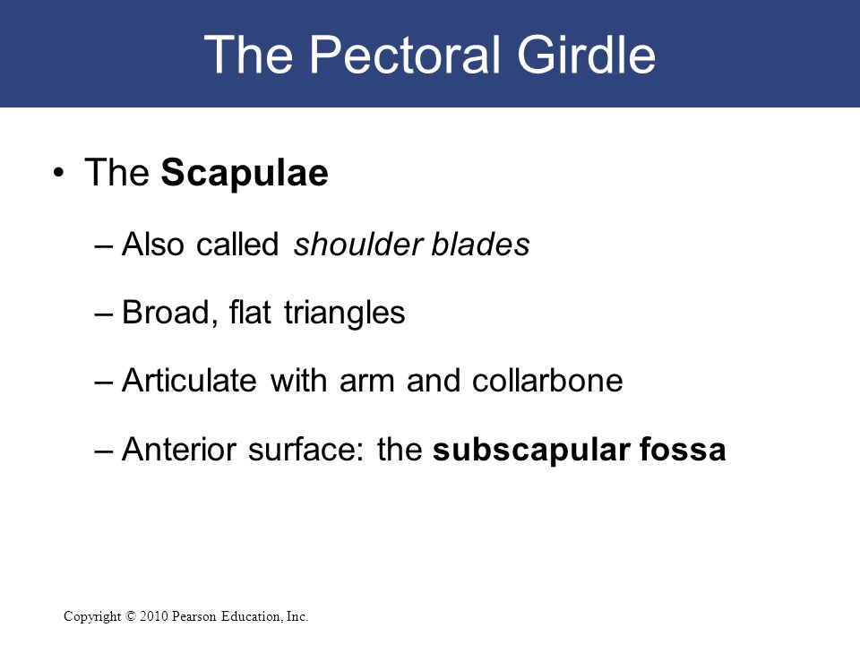 The Pectoral Girdle The Scapulae Also called shoulder blades