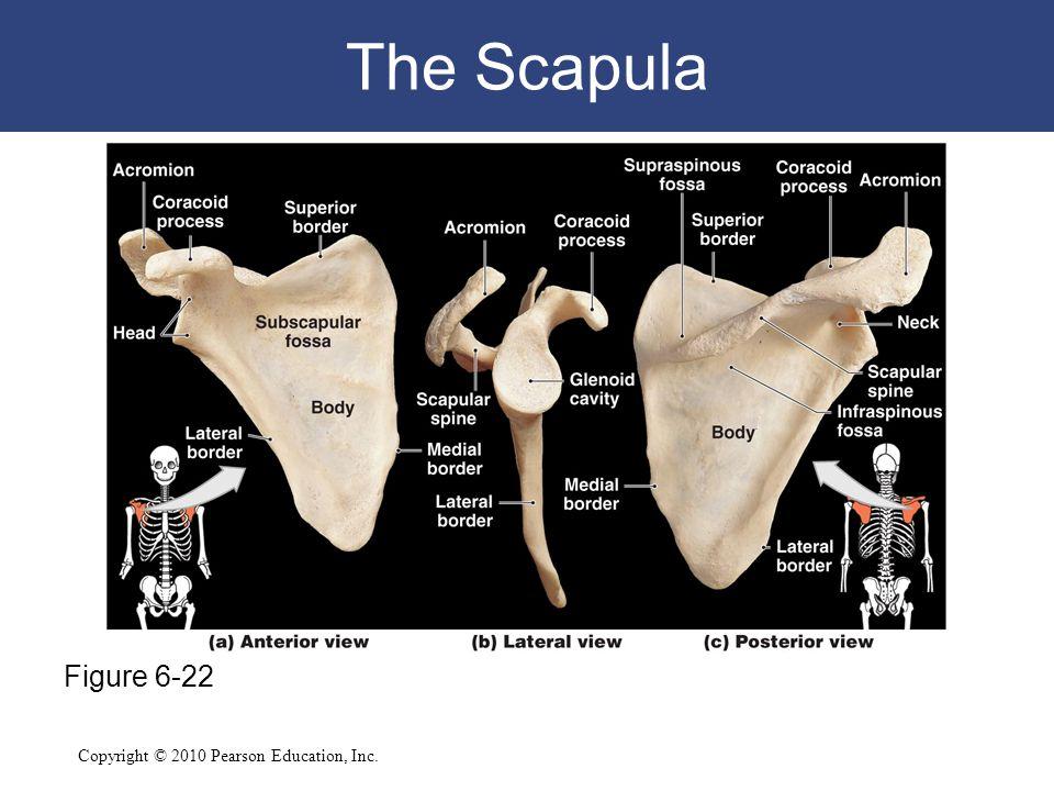 The Scapula Figure 6-22