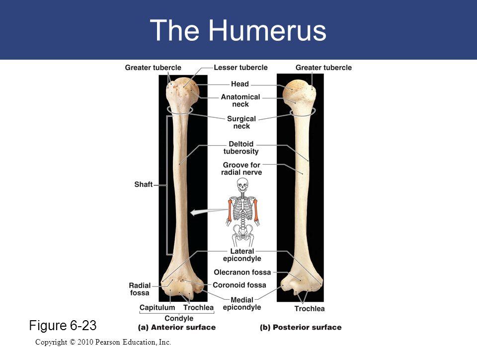 The Humerus Figure 6-23