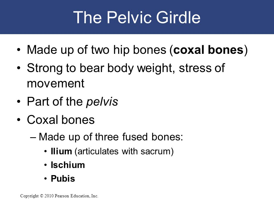 The Pelvic Girdle Made up of two hip bones (coxal bones)