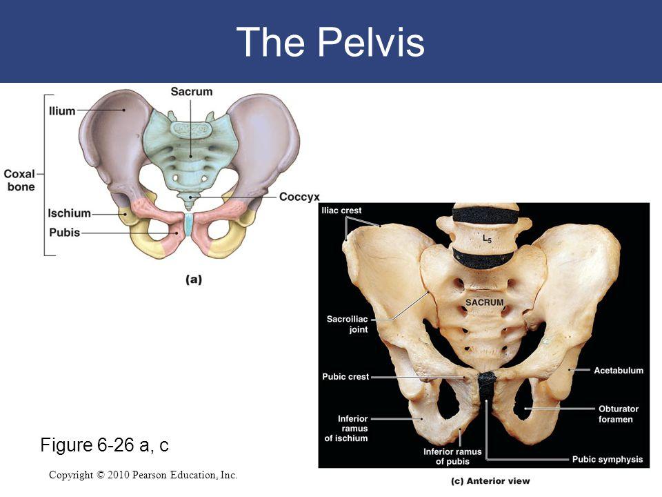 The Pelvis Figure 6-26 a, c