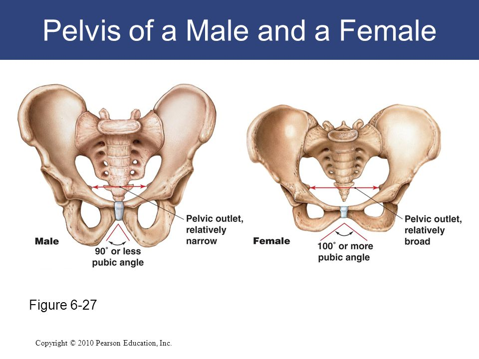 Pelvis of a Male and a Female