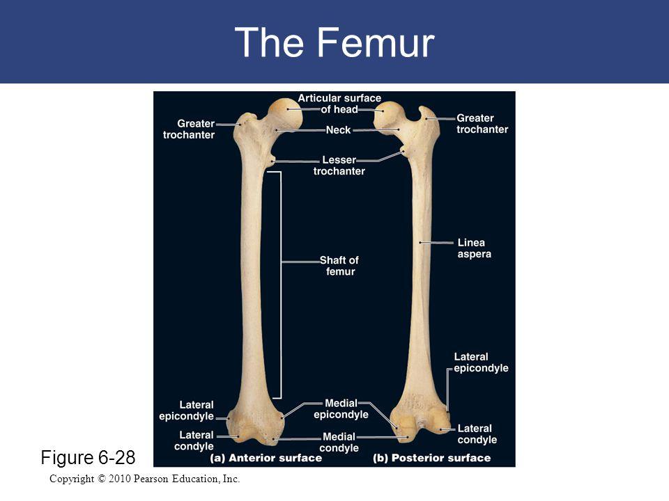The Femur Figure 6-28
