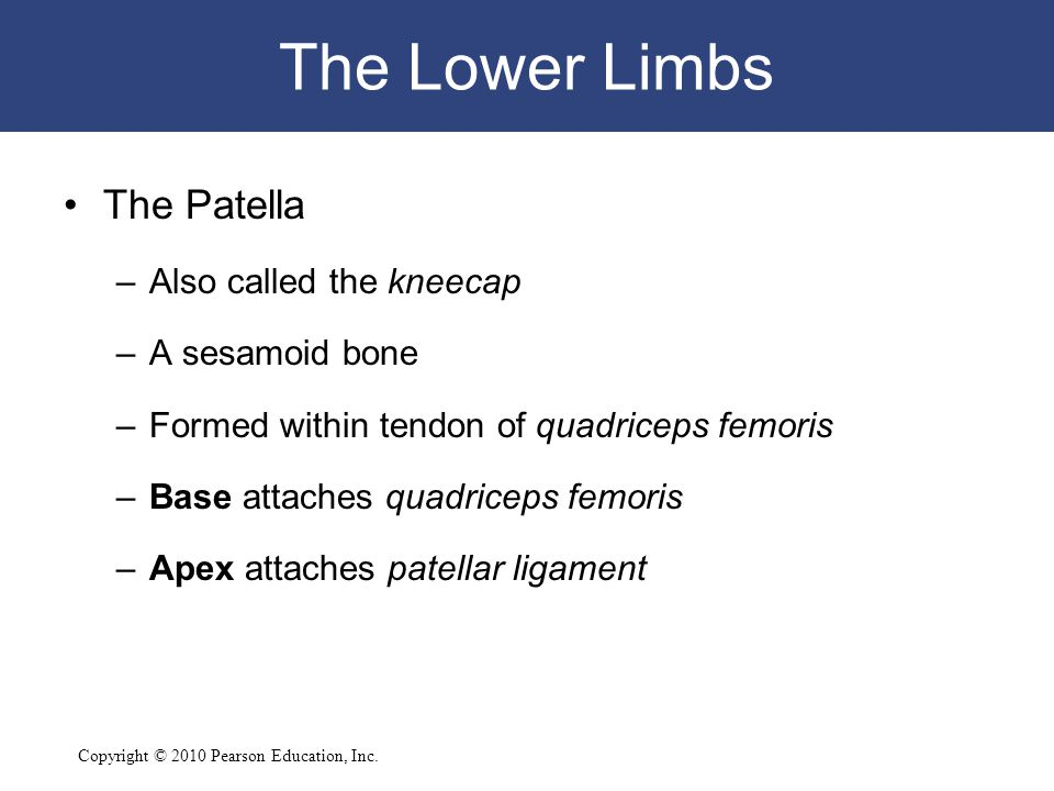 The Lower Limbs The Patella Also called the kneecap A sesamoid bone