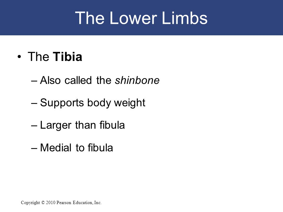 The Lower Limbs The Tibia Also called the shinbone