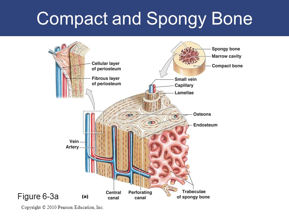 Compact and Spongy Bone